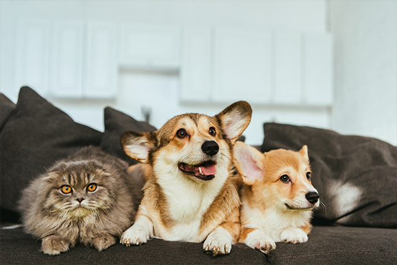 Dogs and cats lying on a grey couch