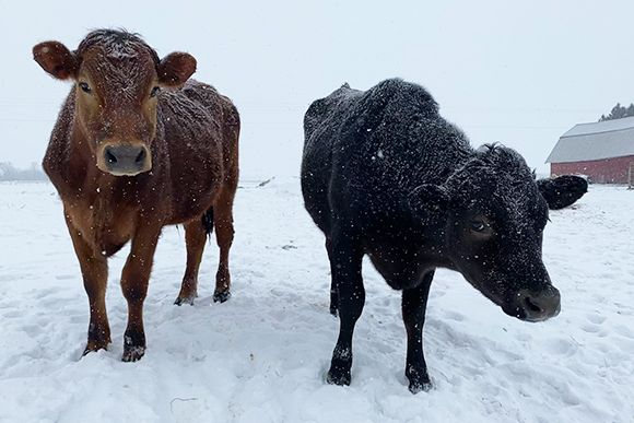 Black and brown cows in winter scene