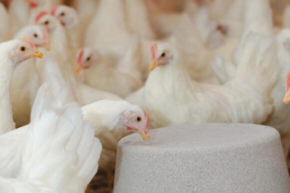 White hens pecking on PECKStone blocks