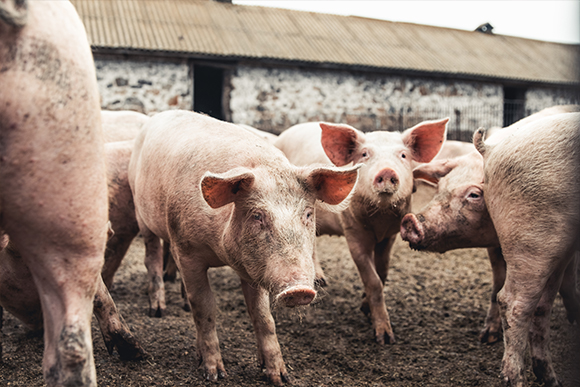 Swine heard feeding in pig farm