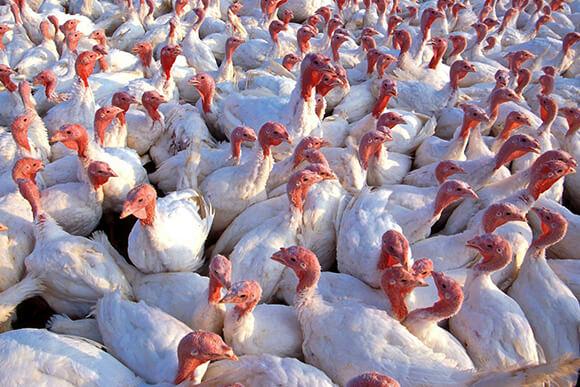 White turkeys in commercial turkey farm