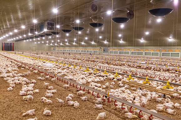 Chicken broilers in commercial poultry house