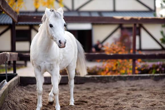 Small white horse in horse farm