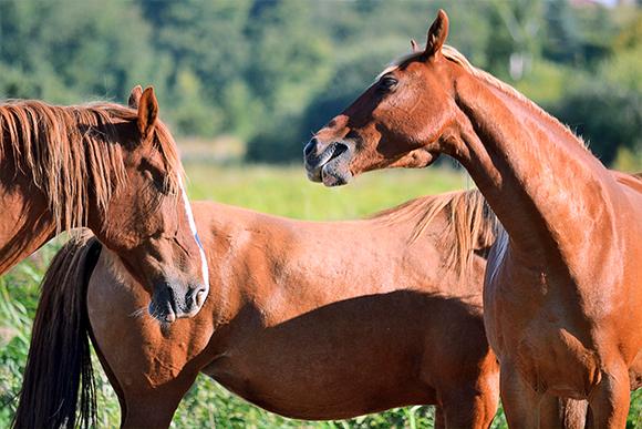 Brown horse herd in horse farm