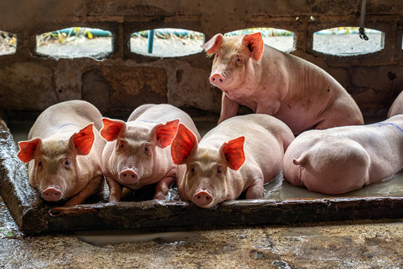 Swine heard laying fown in pig farm