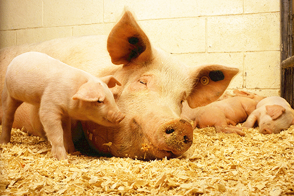 Sow and piglets in bedding amendment